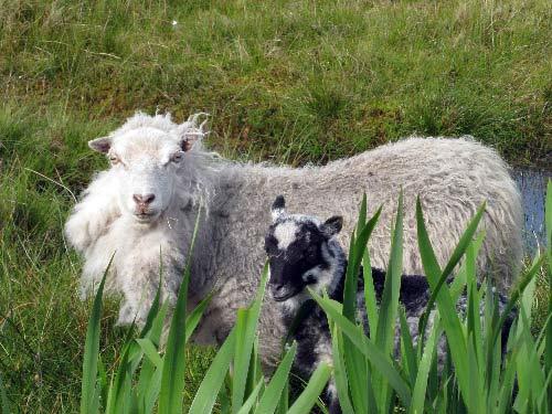 shetland_sheep.jpg